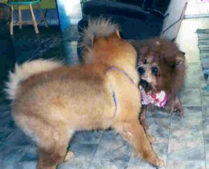 Chows at Play